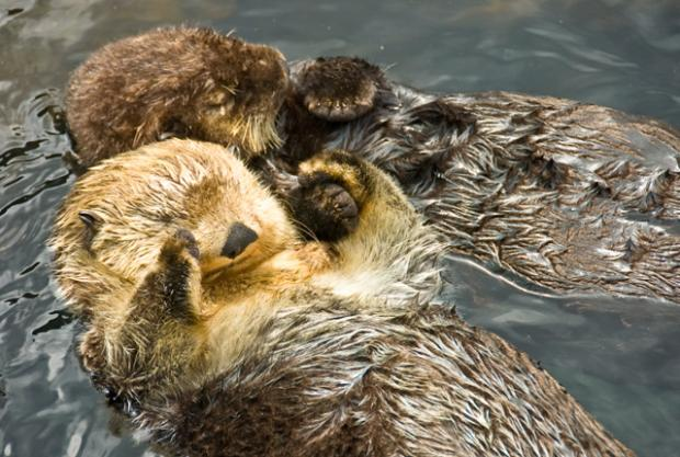 sea-otters.jpg