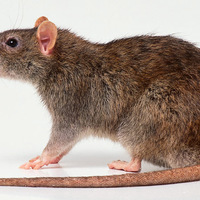 Patkány-olaj: Miben rejlik hatékonysága?