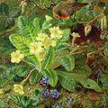 Polyanthus: 19. századi kankalin minden mennyiségben
