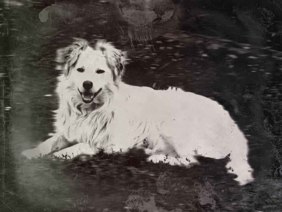 Nyafi kutya régiestíve