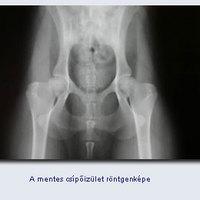 Az argentin dog és a csípőízületi diszplázia
