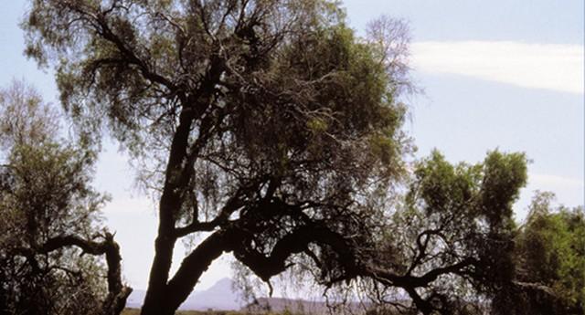 mpingo-tree-1.jpg