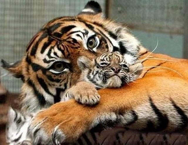 tigrisanya.jpg