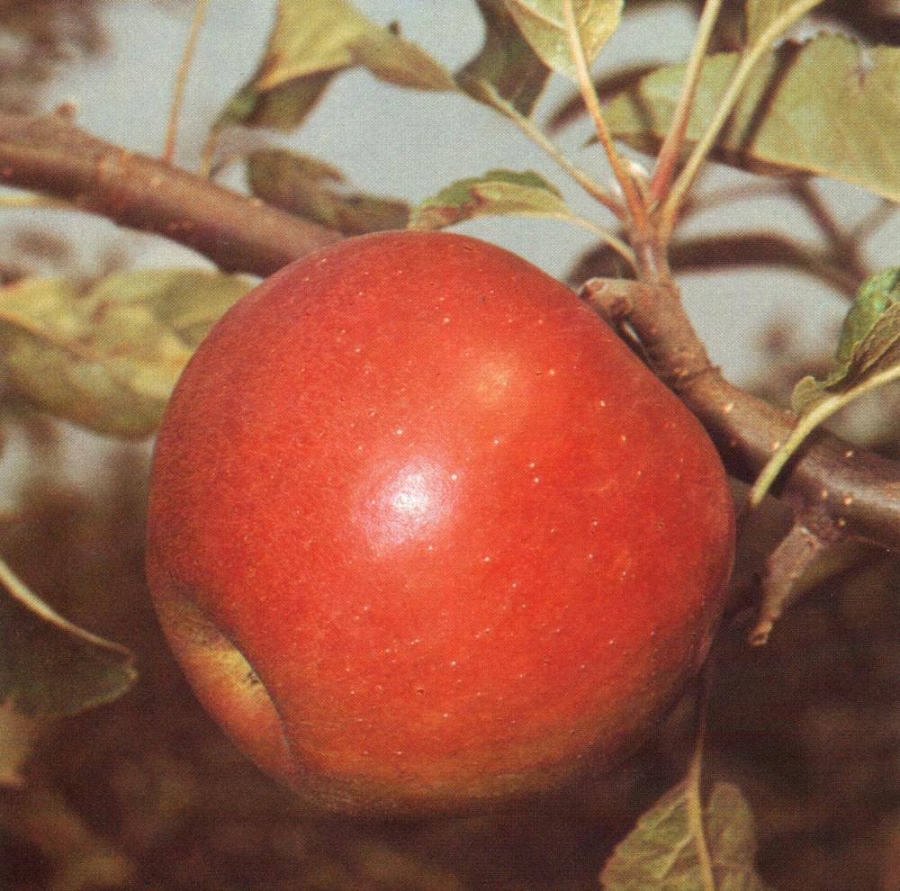 alma [első írásos előfordulása: 1009] Jövevényszó egy török nyelvből a honfoglalás előtti idő-ből. Hasonló formában megtalálható a kipcsak, a csagatáj és a csuvas nyelvekben. A szó a mongol nyelvekben is megtalálható, és igen nagy területen ismert vándorszó. A népnyelvben gyakran összetételi előtag, mint például almásszürke, almásderes.