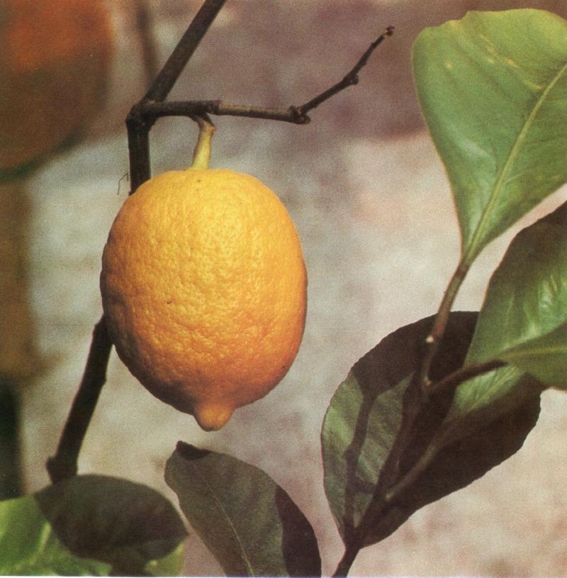 citrom [első írásos előfordulása: 1538] Latin jövevényszó, vö. latin citrum. Ez a latin citrus szóval függhet össze, ami valószínűleg a latin cedrus változata.