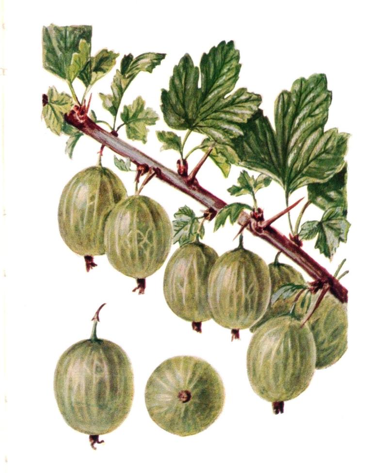 egres [első írásos előfordulása: 1395] Olasz, közelebbről északolasz jövevényszó. Eredetileg a jelentése: éretlen, savanyú szőlőfajta; savanyú gyümölcslé volt. A szó végső forrása a latin agrestis szó lehetett. Nyelvünkben először szóvég is kopott le, majd a szóvégi t lekopása azzal magyarázható, hogy azt a nyelvérzék tárgyragnak érzékelte. Az első szótagi a hangból e hang lett hangrendi kiegyenlítődéssel. A román agris és a hasonló horvát-szerb szavak a magyar szó átvételei.