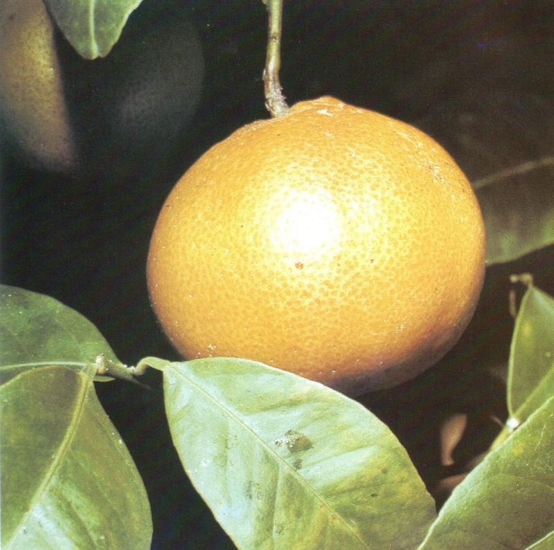 narancs [első írásos előfordulása: 1481] Olasz, közelebbről északolasz jövevényszó. Az olasz szóalakok narancia, narancio, arancia voltak. Az olasz szó előzménye a naranja spanyol szó volt. A spanyolba az arabból került, végső forrása azonban valószínűleg óind szó. Az óind szó alakja feltehetőleg narangáh volt.
