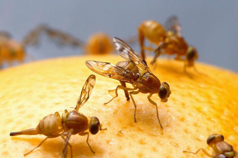 fruit-flys-793x526.jpg