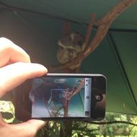 Utazó iPhone: Koala!