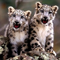Bemutatkozik a Snow Leopard