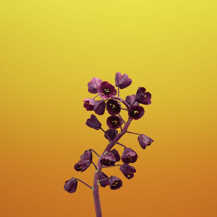 ios_11_gm_wallpaper_flower_fritillaria.jpg