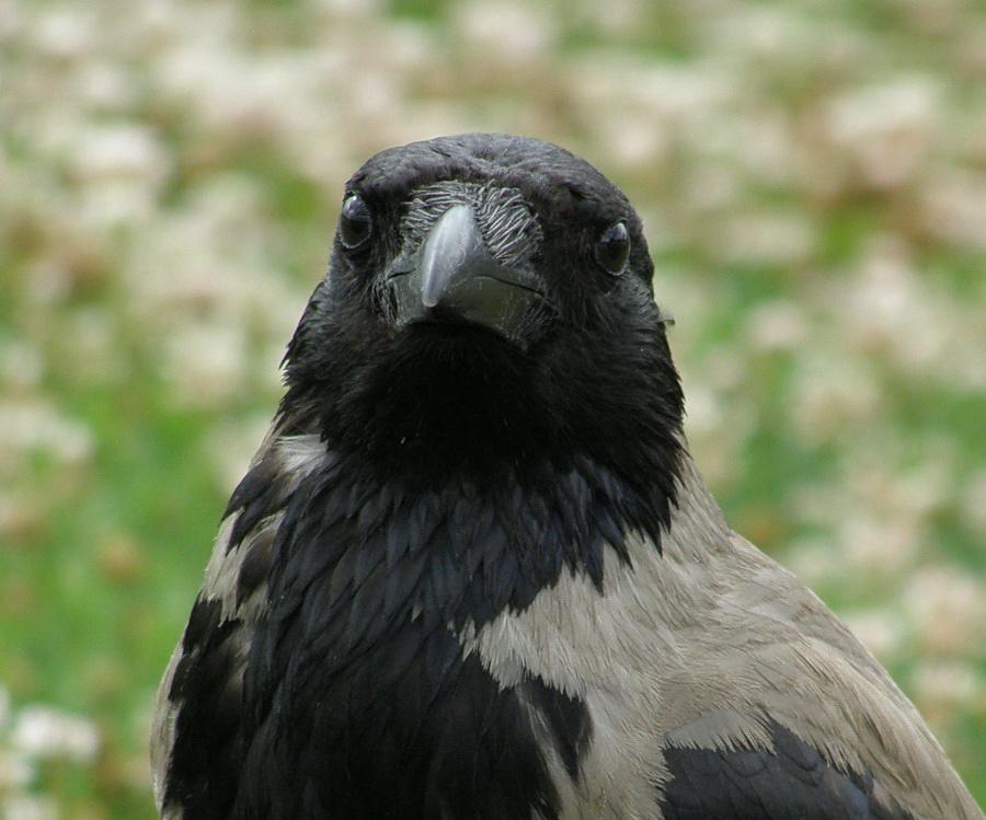 Szintén egy mindenki által ismert madár, a dolmányos varjú.