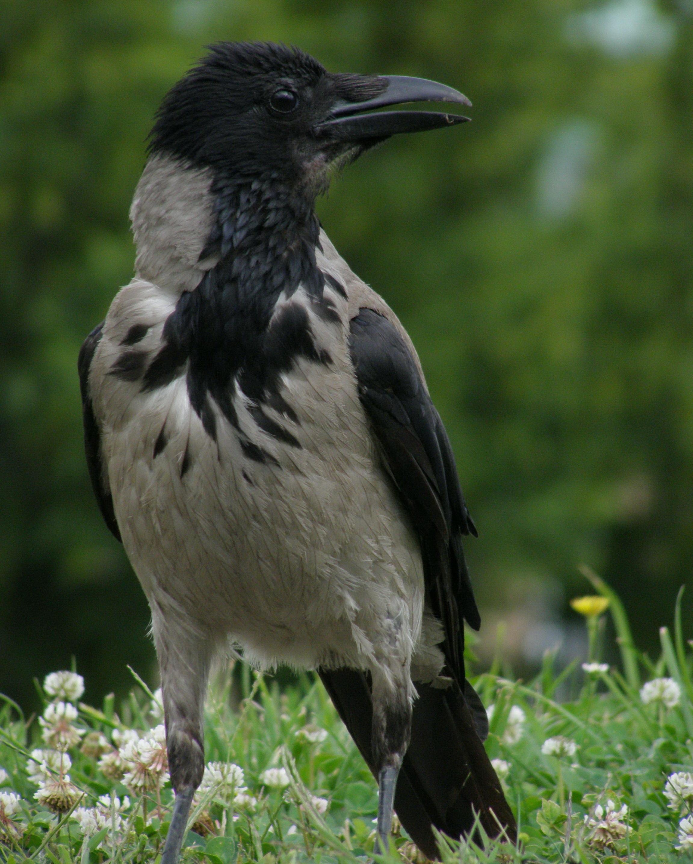 A büszke dolmányos, mondhatnánk erre a képre. Nagy szerencse, mikor a madarak ilyen szépen állnak be egy fotóra ;)!