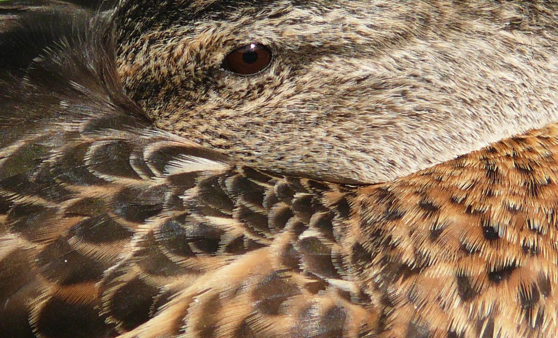 Pihenő tőkés réce. Ezzel a szűk vágással az volt a célom, hogy ne látszódjon elsőre, hogy madár, sőt, semmilyen körvonal ne látszódjon. Csak tollazat határai és a szem árulkodjon a madárról.
