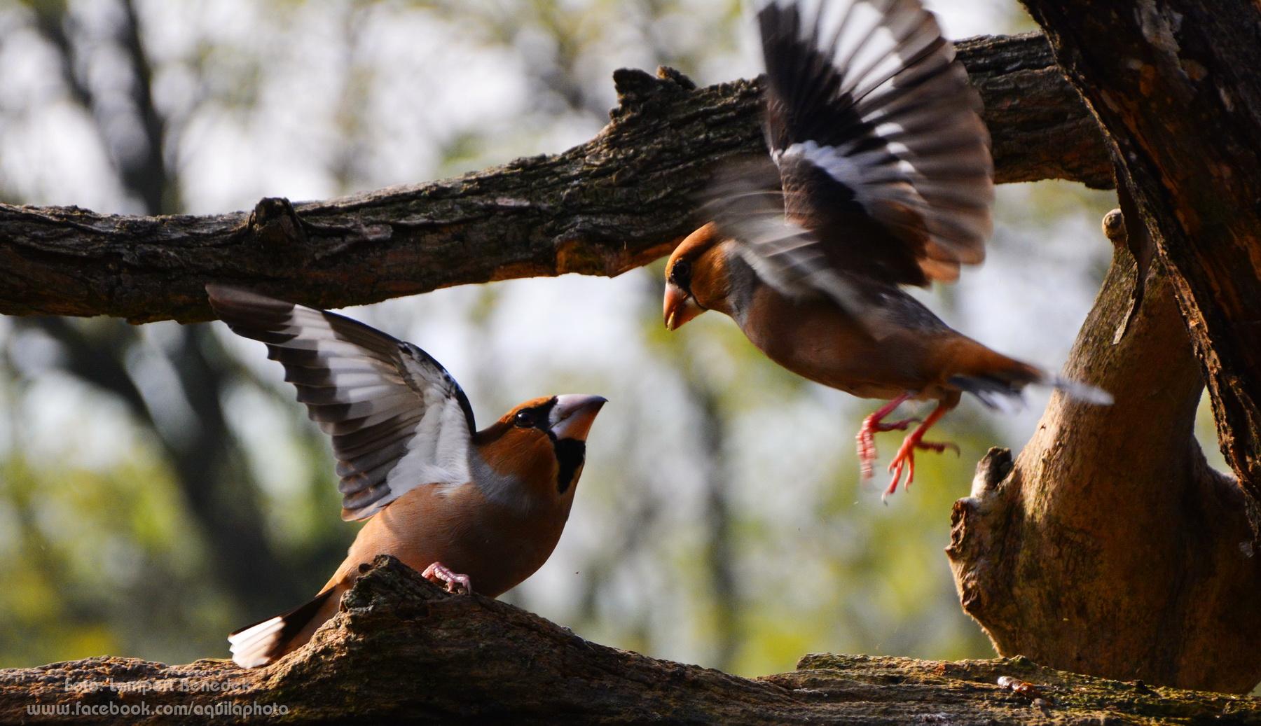 Kis meggyvágó balhé. Ha ezek a madarak egymásnak esne, ott bizony repkednek a tollak!