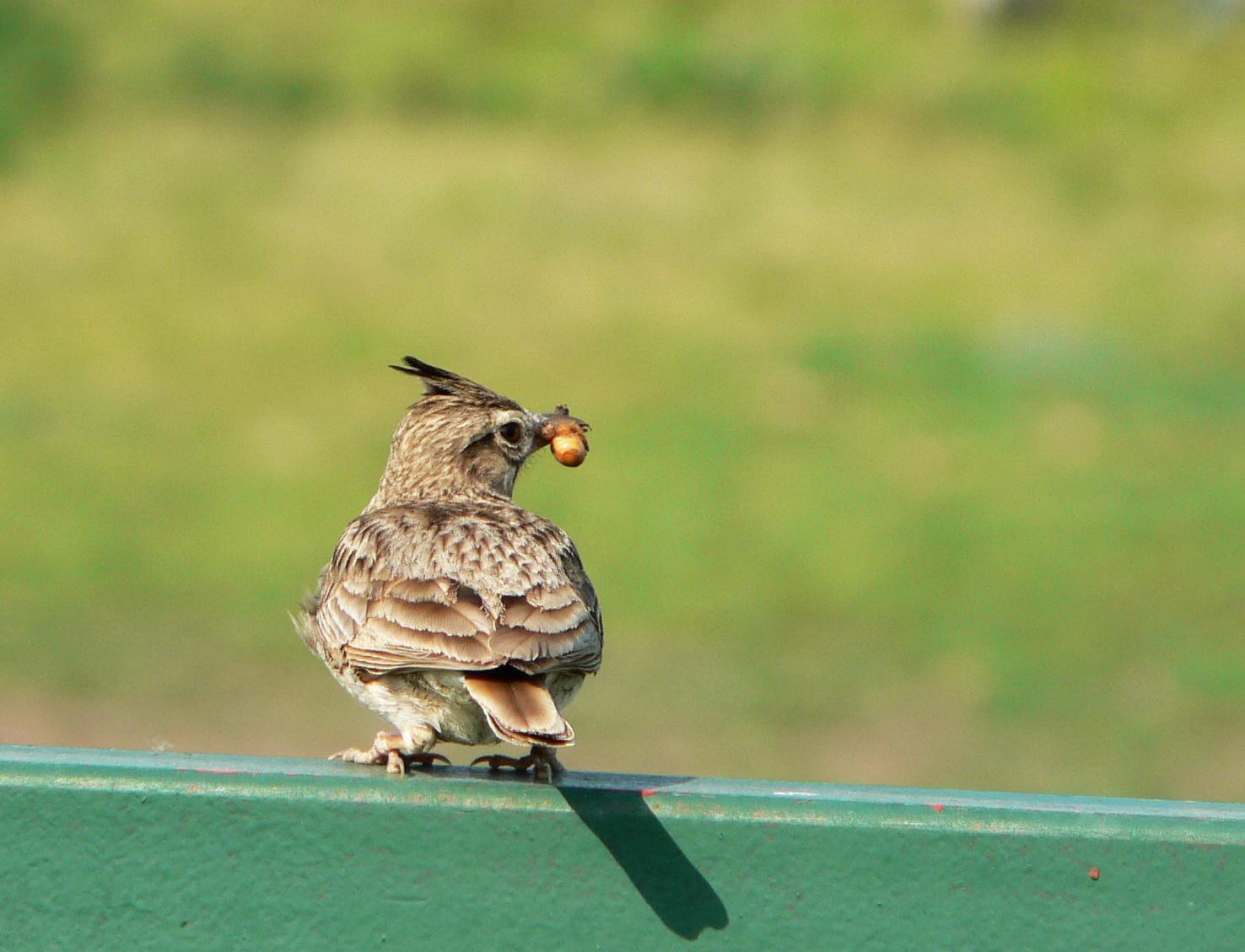 És végül egy különlegesség. Nemcsak azért, mert egy búbos pacsirta van rajta, ami nem egy tucat madár, hanem mert ez az első igazi madárfotóm. Még 2007-ben készült az Attila dombon.
