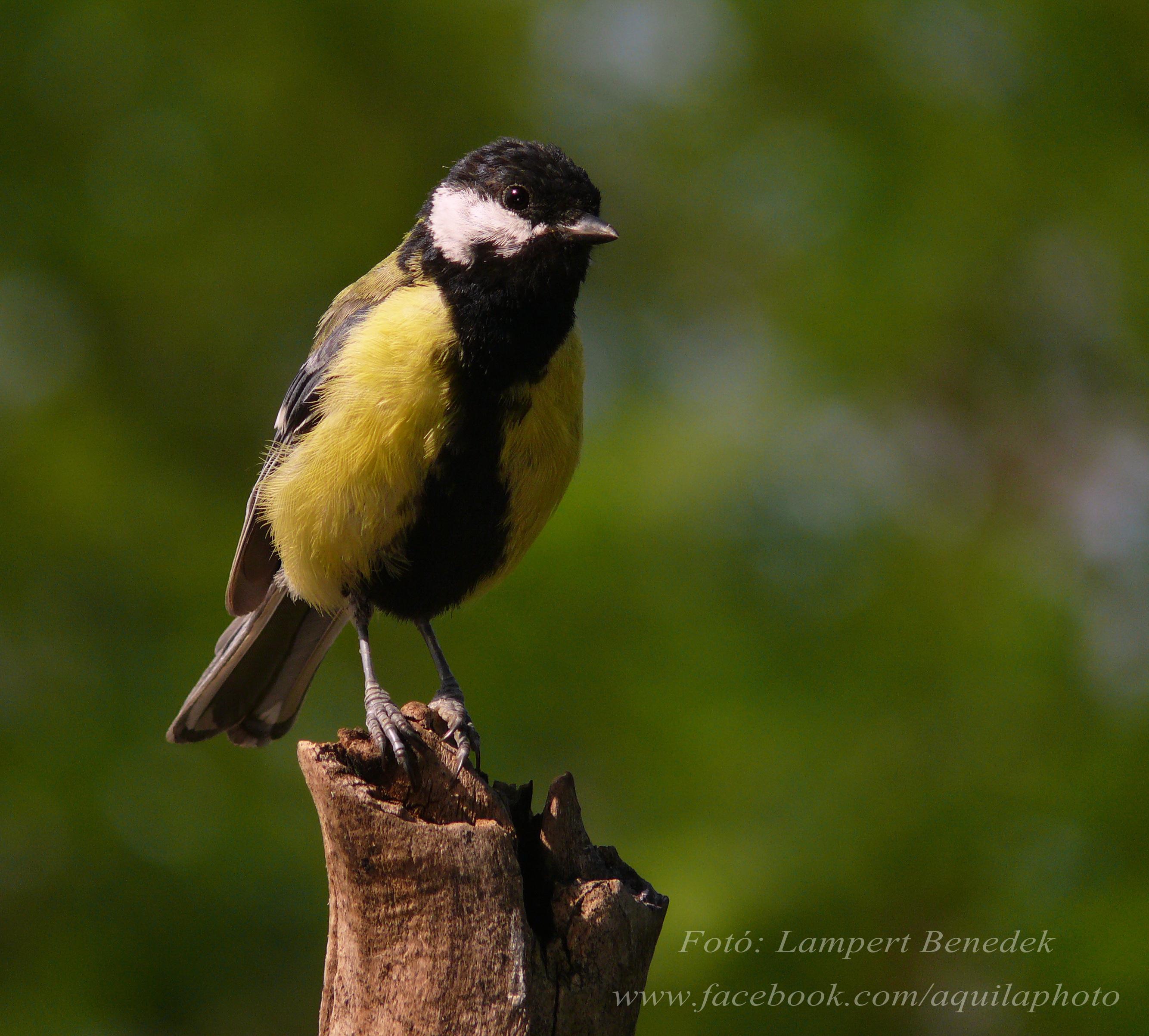 A széncinegét (hím) mindenki jól ismeri és talán nem olyan különleges vendég, de szép madár és nem tudok elmenni mellette sosem!