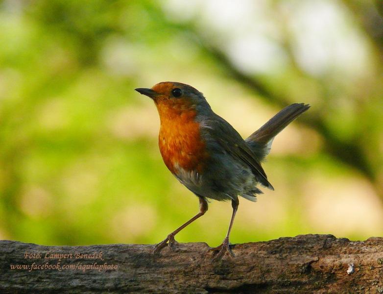 A vörösbegy igazi mumus madár. Sokszor találkozik vele az ember, de lencsevégre kapni annál nehezebb. Itt nagyon szépen megmutatta magát!