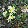 Kankalinmező anyám kertjében