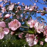 a virágzó őszibarack és a tao