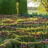 Lorántffy Zsuzsanna tulipánjai