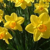 Hóvirág, sáfrány, nárcisz, tulipán...