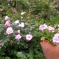 amikor a kertem rózsaszínbe öltözik