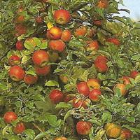 a húsvéti rozmaring és a szentiványi alma