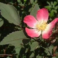 Piroslevelű rózsa