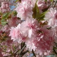 Cseresznyefa virágzás a Füvészkertben