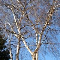 táltosok fája
