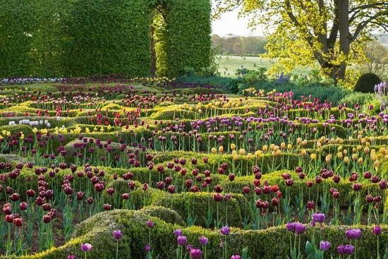 tulipan_2.jpg