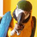 Diótörő papagáj módra