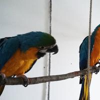 Papagájok csapatban, otthon