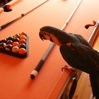 Ara papagáj, a játékos óriás
