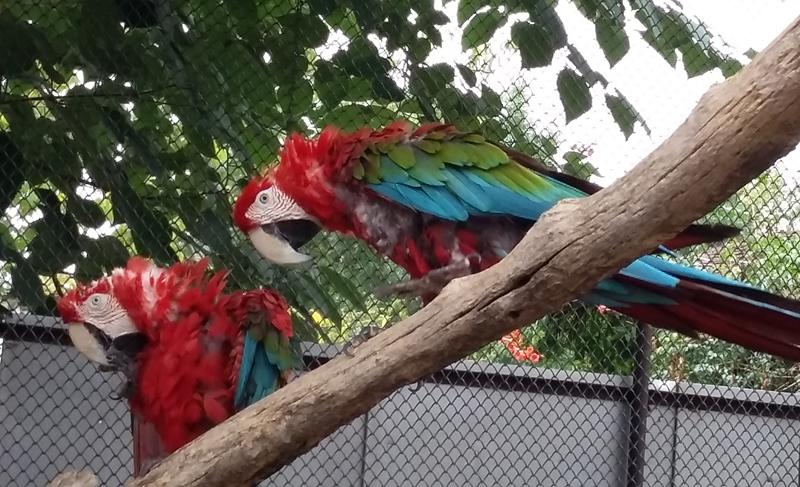 zoldszarnyu-ara-papagaj.jpg