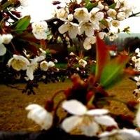 Cseresznyevirágzással kezdődött...
