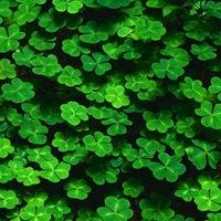 Mítikus növényeink: a négylevelű lóhere