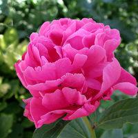 Mindent a pünkösdi rózsáról