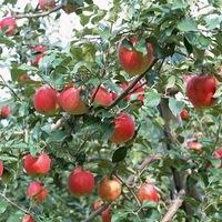 Zacsis alma