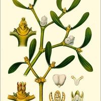 Téli díszítő növények: a fagyöngy