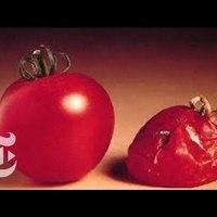 A hét videója: Mi lett az első génmódosított paradicsommal?