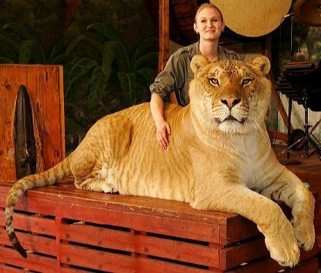 Lion+Tiger=Liger azaz Oroszgris