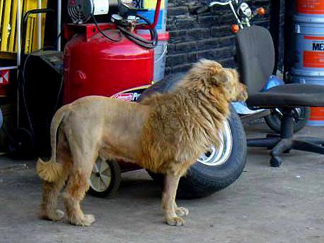 Kutyából nem lesz szalonna, max oroszlán - Kutylán