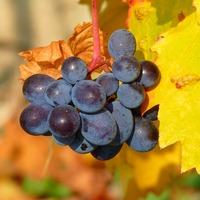 Mit csinál a szőlő?