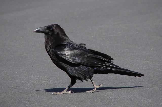 raven-98244_640.jpg