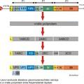 A picornavírus genom felépítése