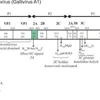 Rendhagyó madár picornavírusok bemutatása 3. rész