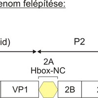 Az első madár kobuvírus leírása - szalakóta kobuvírus 1