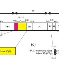 Vándormadarak picornavírusai - Kunságivírus